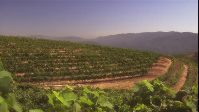 rows of grapes in a well-tended vineyard follow the contours of a hill. - ブドウの葉点の映像素材/bロール