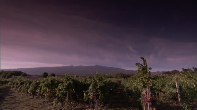 rows of grapevines in a vineyard point toward a distant mountain. - orticoltura video stock e b–roll