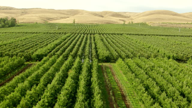 ws aerial rows of green orchards in yakima river valley with brown hills in foreground / washington, united states - fruit tree stock videos & royalty-free footage