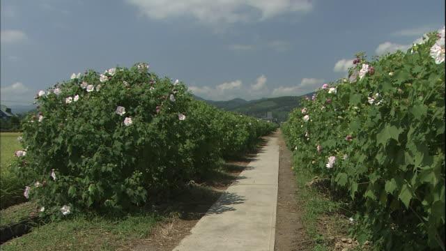 rows of hibiscus mutabilis bloom along a farm road through rice fields in kanagawa, japan. - eibisch tropische blume stock-videos und b-roll-filmmaterial