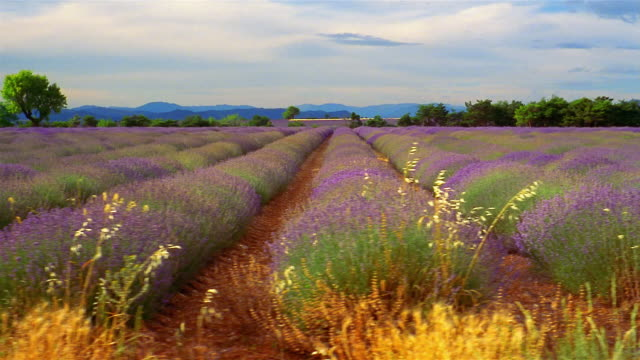 rows of lavender grow on a farm in provence, france. - region provence alpes côte d'azur stock-videos und b-roll-filmmaterial