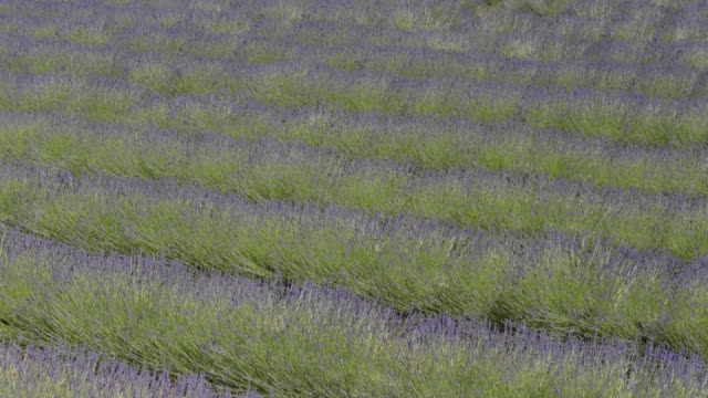 rows of lavender in a field - luberon stock videos & royalty-free footage
