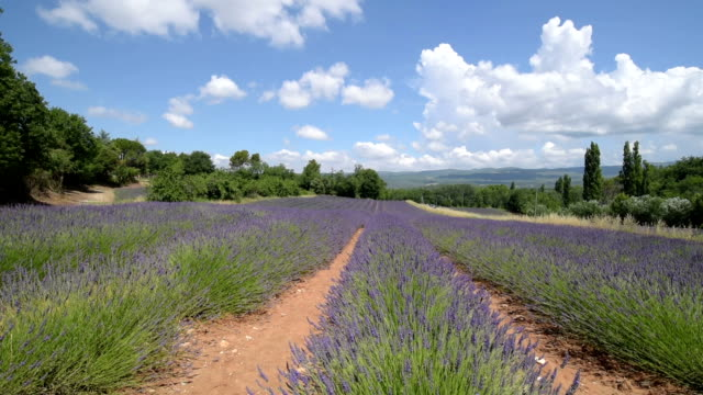 rows of lavender in a field - luberon stock-videos und b-roll-filmmaterial