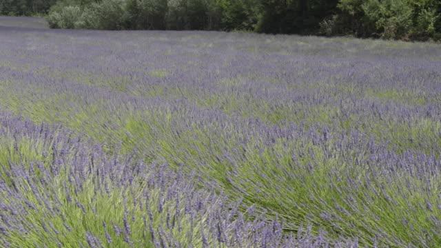 vídeos de stock e filmes b-roll de rows of lavender moving in the wind - luberon
