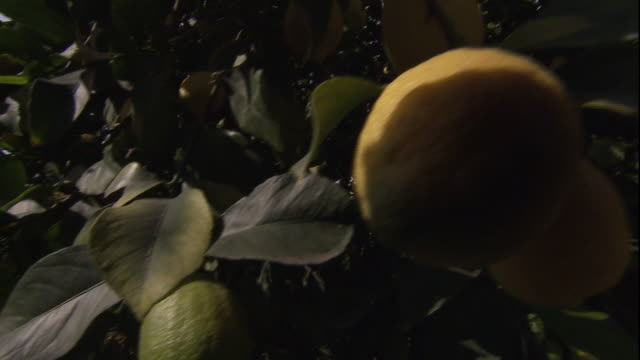 rows of lemon trees fill an orchard. - citrus fruit stock videos & royalty-free footage