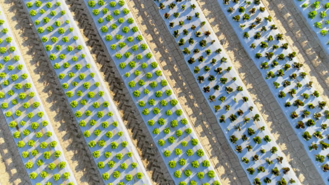 AERIAL Rows of lettuce growing on a field