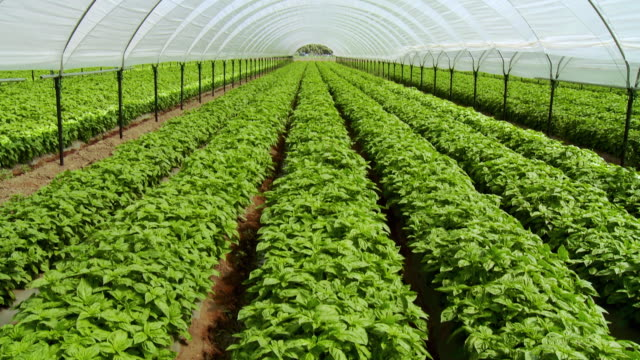 MS TU WS Rows of organically grown herbs in greenhouse, Thermal, California, USA