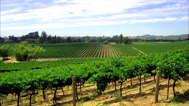 Rows of plants cover the fields of a vineyard in California.