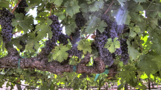 Rows of Ripe Grapevines