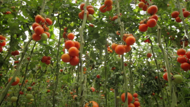 Rows of ripe tomatoes on the vine in a large greenhouse