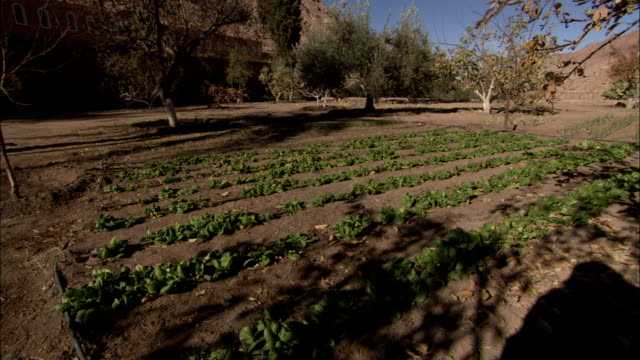 vidéos et rushes de rows of salad greens grow in the vegetable garden at saint catherine's monastery in mount sinai egypt. available in hd. - salade verte