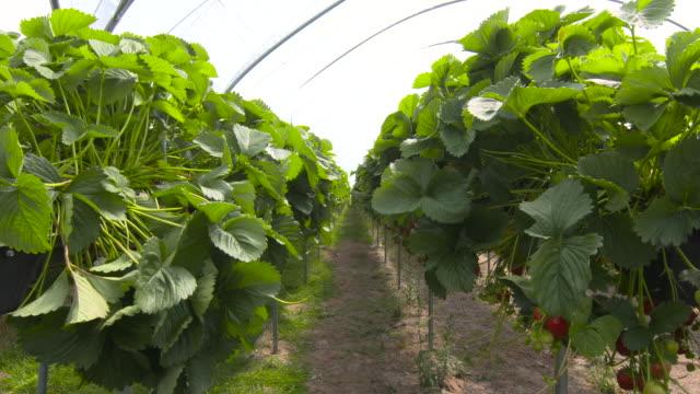 rows of strawberry plants in polytunnel, uk - グリーンハウス点の映像素材/bロール