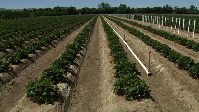 rows of strawberry plants on farm. - santa barbara california stock videos and b-roll footage