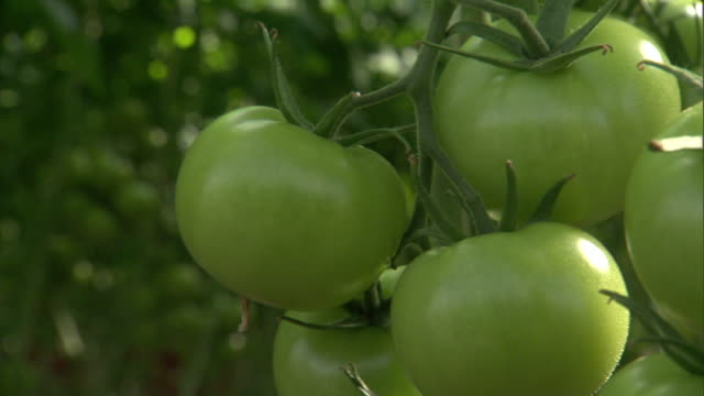 rows of tomatoes fill a greenhouse. - tomato stock videos & royalty-free footage