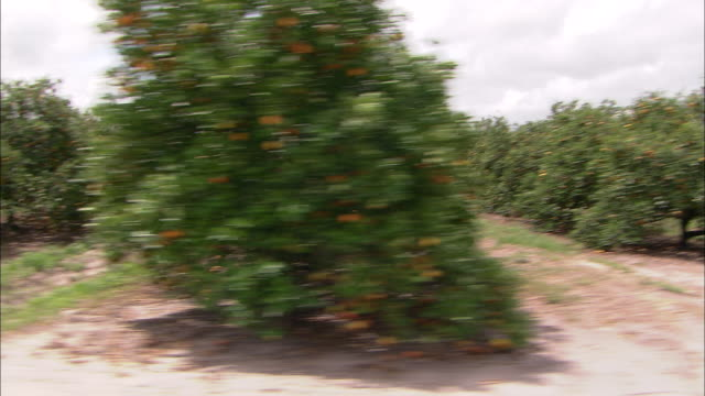 rows of trees in an orange grove in florida are heavy with fruit. - オレンジの木点の映像素材/bロール
