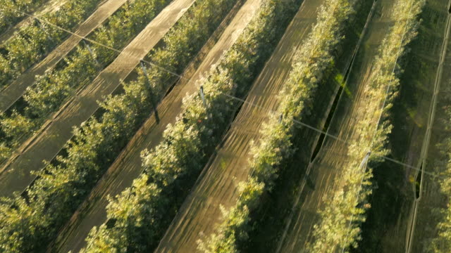 AERIAL Rows Of Trees In The Orchard