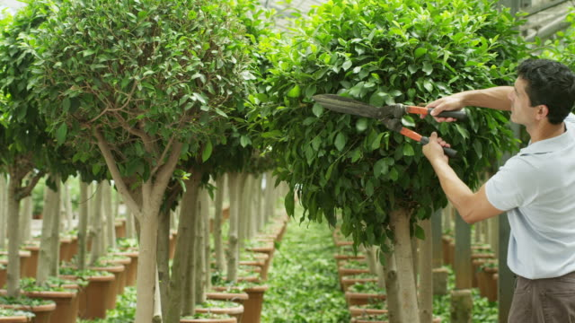 vídeos de stock, filmes e b-roll de pan rows of trees in vast greenhouse, pan reveals man with huge cutters clipping one of the trees - só um adulto de idade mediana