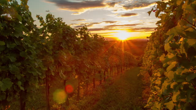 T/L Rows of vines in the sunset