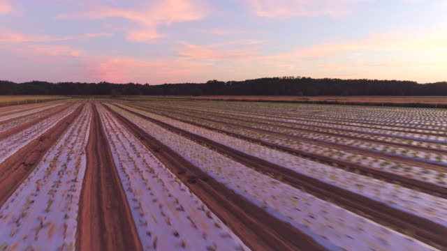 AERIAL Rows of young lettuce plants at sunset