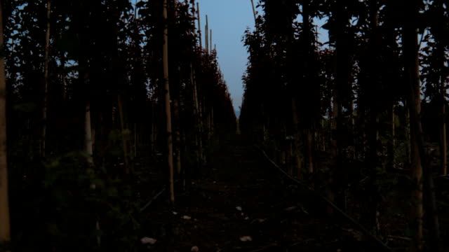 Rows of young Prunus cerasifera trees in evening garden
