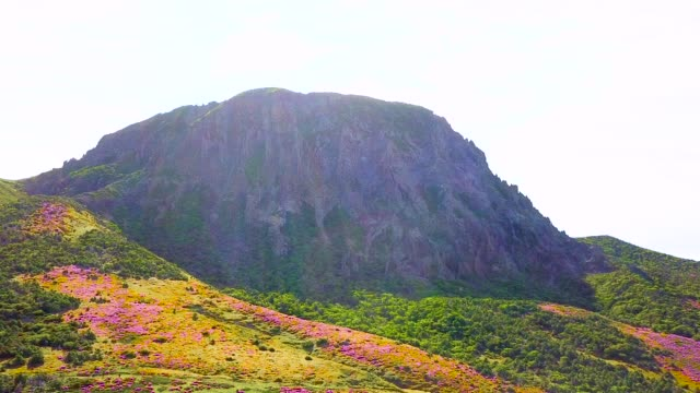 royal azalea blossoms on witseoreum (volcanic cone) on hallasan mountain (highest mountain in south korea) - heather stock videos & royalty-free footage