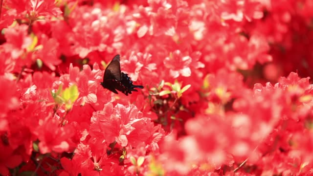 royal azaleas and butterflies in the gangneung solhyang arboretum, gangwon province - rhododendron stock videos and b-roll footage