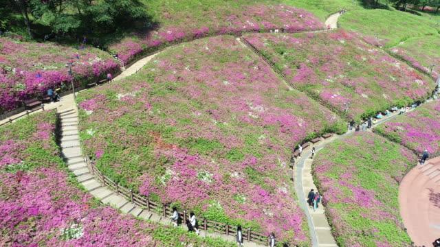 royal azaleas hill in gunpo / gunpo-si, gyeonggi-do, south korea - field stock videos & royalty-free footage