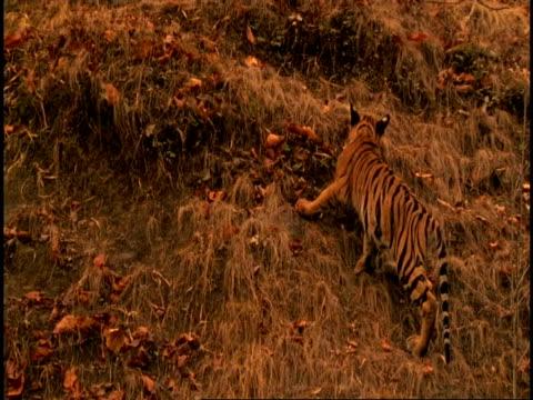Royal Bengal tiger (Panthera tigris tigris) adolescent playing on hillside, Bandhavgarh National Park, Madhya Pradesh, India