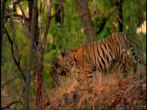 royal bengal tiger (panthera tigris tigris) adolescent walking through forest, bandhavgarh national park, madhya pradesh, india - national icon stock videos and b-roll footage