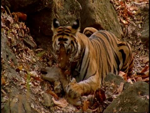 royal bengal tiger (panthera tigris tigris) chewing carcass, bandhavgarh national park, india - national icon stock videos & royalty-free footage