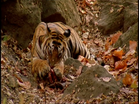 vídeos de stock, filmes e b-roll de royal bengal tiger (panthera tigris tigris) chewing carcass, uses paws to hold carcass, bandhavgarh national park, india - pata com garras