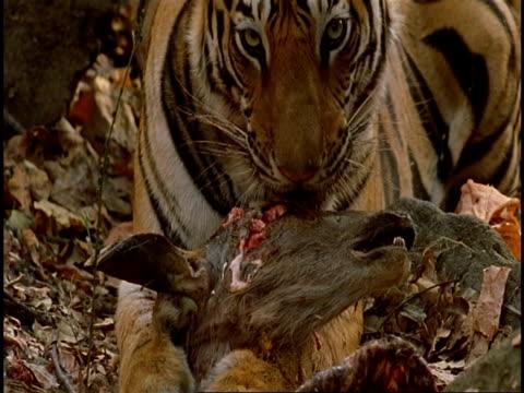 Royal Bengal Tiger (Panthera tigris tigris) chewing sambar head, Bandhavgarh National Park, India
