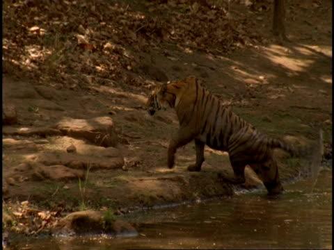 vídeos y material grabado en eventos de stock de royal bengal tiger (panthera tigris tigris) climbing out of water, bandhavgarh national park, india - felino grande
