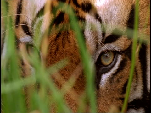 ms royal bengal tiger (panthera tigris tigris) close up head behind grass, bandhavgarh national park, india - national icon stock videos & royalty-free footage