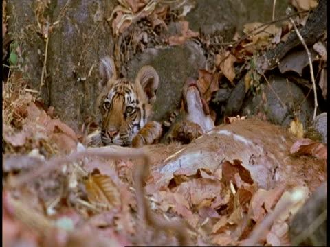 ms royal bengal tiger cub feeding on kill, bandhavgarh national park, india - national icon stock videos & royalty-free footage