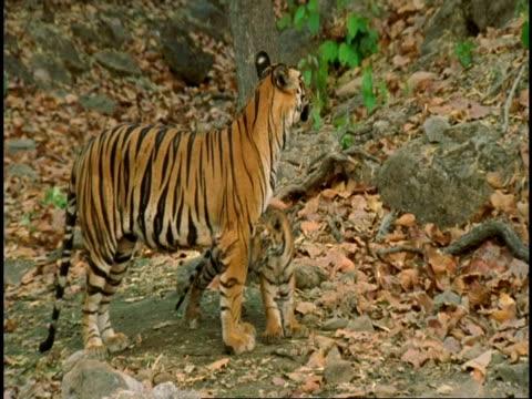 ms royal bengal tiger (panthera tigris tigris) cub playing with mother, bandhavgarh national park, india - national icon stock videos & royalty-free footage