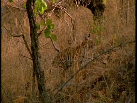 ms royal bengal tiger cub running through jungle, bandhavgarh national park, india - national icon stock videos & royalty-free footage