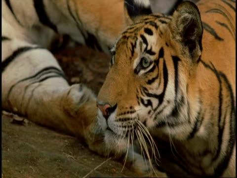 vídeos y material grabado en eventos de stock de royal bengal tiger (panthera tigris tigris) head, close up, bandhavgarh national park, india - vibrisas