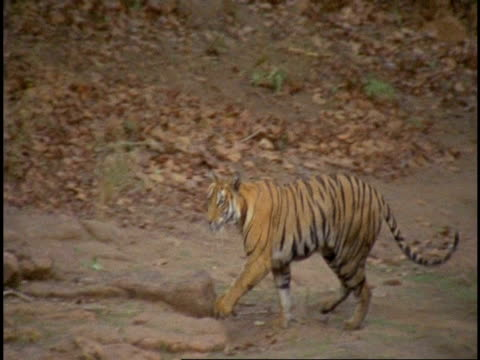 MS Royal Bengal tiger (Panthera tigris tigris) jumping over stream, Bandhavgarh National Park, India