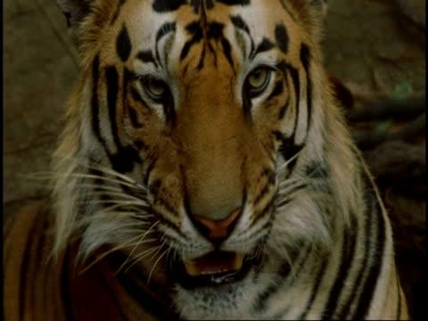 cu royal bengal tiger (panthera tigris tigris) licking lips, bandhavgarh national park, india - bandhavgarh national park stock videos and b-roll footage