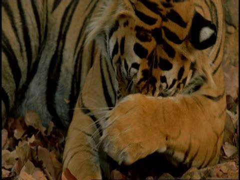 royal bengal tiger (panthera tigris tigris) licking paws, bandhavgarh national park, india - maul stock-videos und b-roll-filmmaterial