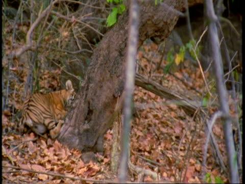 vídeos de stock, filmes e b-roll de ms royal bengal tiger marking tree, cub near by, bandhavgarh national park, india - female animal