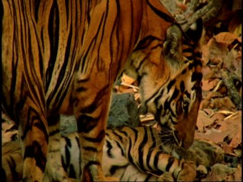 CU Royal Bengal tiger (Panthera tigris tigris) mother licking cub, Bandhavgarh National Park, India