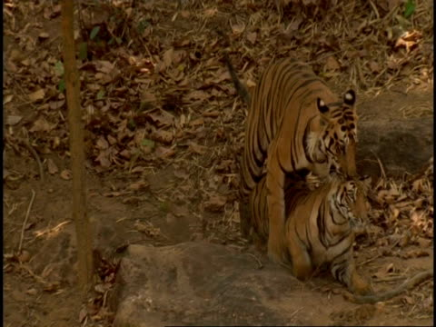 vidéos et rushes de royal bengal tiger (panthera tigris tigris) pair mating, bandhavgarh national park, india - comportement animal