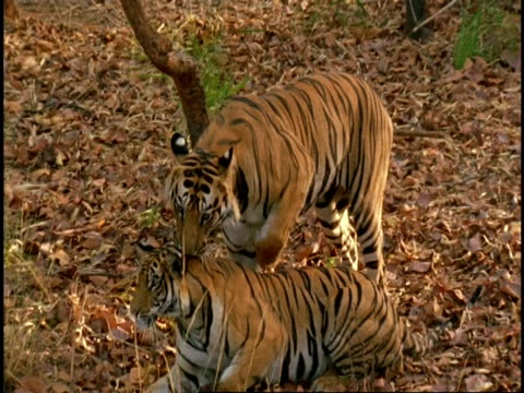 royal bengal tiger (panthera tigris tigris) pair mating, bandhavgarh national park, india - comportamento animale video stock e b–roll