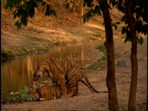 vídeos de stock, filmes e b-roll de royal bengal tiger (panthera tigris tigris) pair mating next to stream, bandhavgarh national park, india - acasalamento de animais