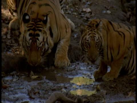 ms royal bengal tiger, panthera tigris tigris, and cub drinking from pool, bandhavgarh national park, india - national icon stock videos & royalty-free footage