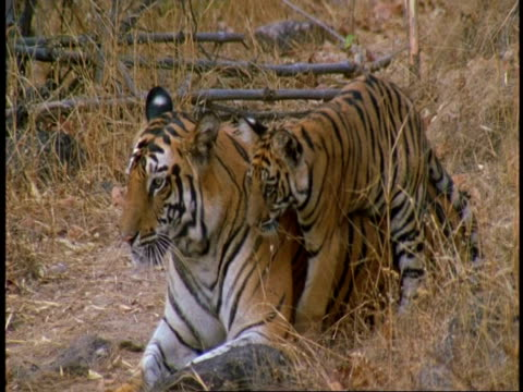 vidéos et rushes de cu royal bengal tiger, panthera tigris tigris, and cub in jungle, affectionate behaviour, bandhavgarh national park, india - mignon