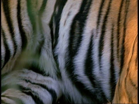 stockvideo's en b-roll-footage met cu royal bengal tiger, panthera tigris tigris, coat, pan to head, bandhavgarh national park, india - dierenhaar