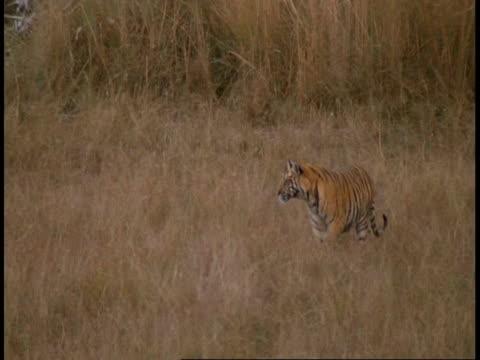 wa royal bengal tiger, panthera tigris tigris, cub walking through grass to mother at pool, bandhavgarh national park, india - national icon stock videos & royalty-free footage